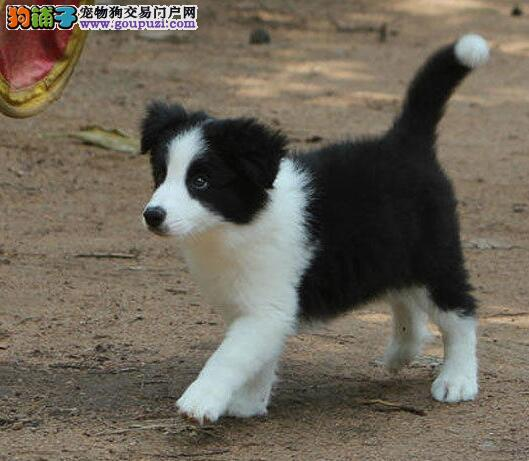 易训练极其聪明的吉林边境牧羊犬热卖中保证品质血统