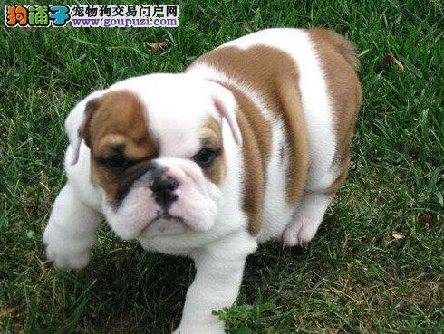 长沙哪里有斗牛犬出售 长沙斗牛犬多少钱 法国斗牛犬