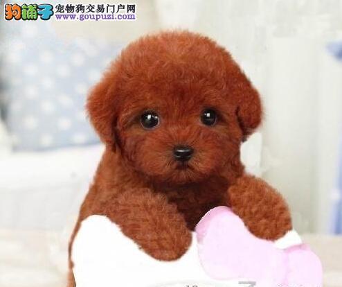 吉林狗场低价出售六种颜色齐全的泰迪犬多窝任君选择