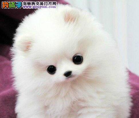 吉林自家繁殖的俊介血系博美犬建议大家上门选购幼犬