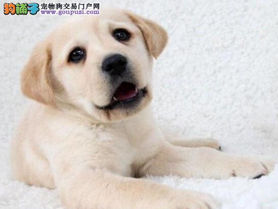 头版品相极佳的吉林拉布拉多犬找新家签订购犬协议