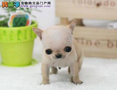 南京哪里有卖吉娃娃南京吉娃娃多少钱