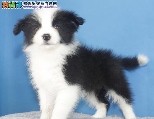 重庆专业的边境牧羊犬犬舍终身保健康包养活包退换