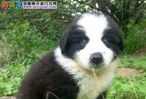 CKU认证犬舍出售高品质边境牧羊犬可直接视频挑选
