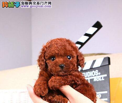 秦皇岛实体店促销泰迪犬颜色多只可进店挑选