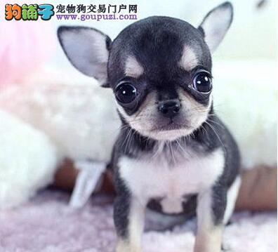 热销多只优秀的郑州纯种吉娃娃幼犬价格低廉品质高