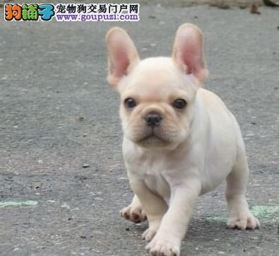 极品法国斗牛犬出售 CKU认证品质 当天付款包邮