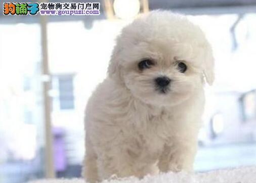 大型实体店直销深圳比熊犬超可爱包养活