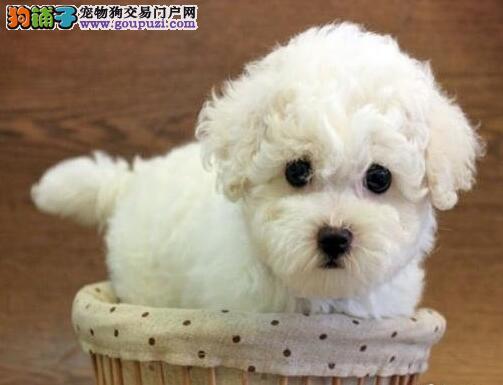 南宁知名狗场出售甜美可爱的小比熊犬 多只供选购