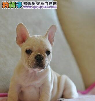 直销法国斗牛犬幼犬,纯度好100%健康,提供养狗指导