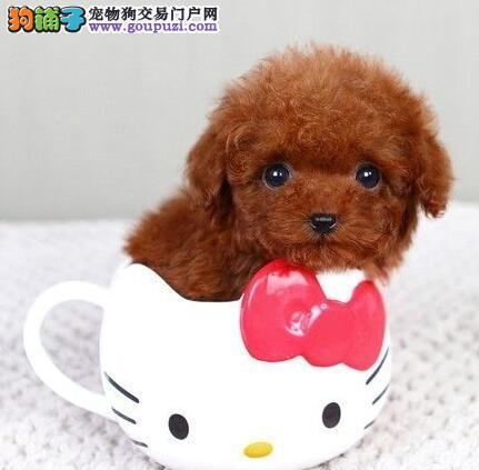 出售泰迪犬幼犬 CKU认证犬舍 签订终身合同