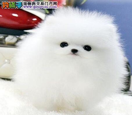 颜色全品相佳的博美犬纯种宝宝热卖中质量三包完美售后