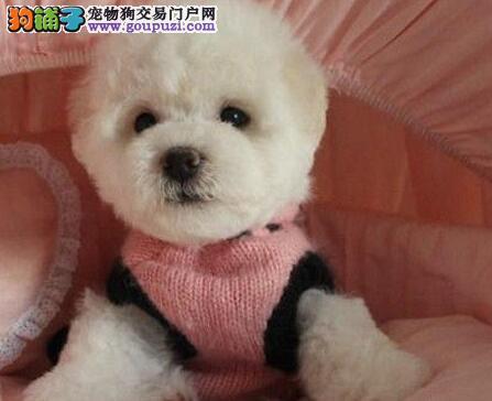 出售正规犬舍繁殖出售的优秀贵阳比熊犬 可接受预定