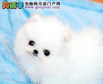 调皮可爱的博美宝宝幼犬出售欢迎上门选购