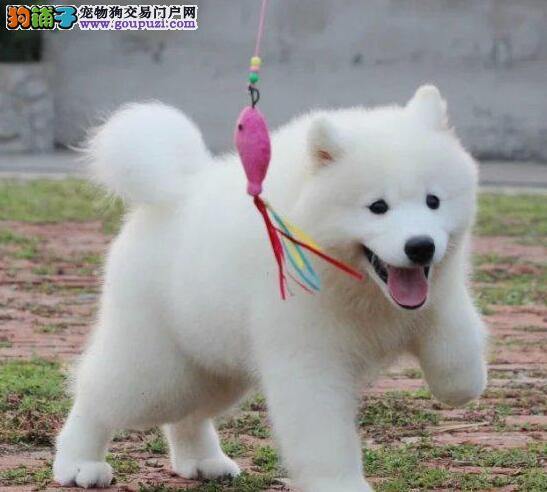 大型狗场热销极品渝中萨摩耶犬售后有保障