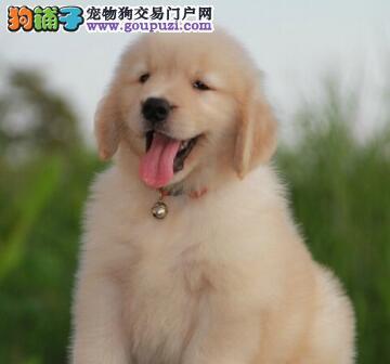 重庆知名犬舍热销精品大骨架金毛犬 可提前来犬舍预定