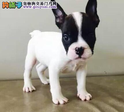 双血统赛级品质的包头斗牛犬找新家 香炉腿玫瑰耳