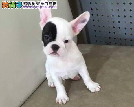 CKU认证犬舍 专业出售极品 法国斗牛犬幼犬提供护养指导