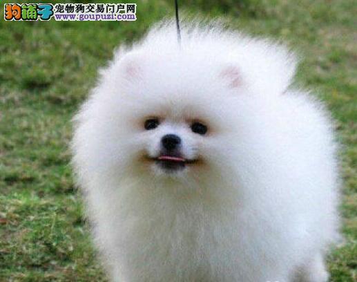 血系纯正的徐州博美犬优惠出售中 疫苗驱虫已做