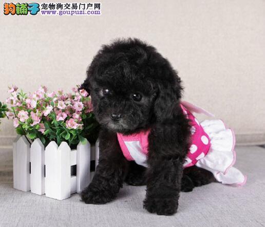 高品质贵宾犬宝宝 国际血统品相好 购犬可签协议
