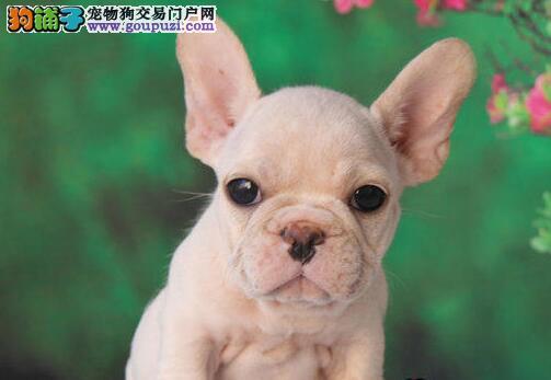 铜川最大犬舍出售多种颜色法国斗牛犬可直接视频挑选