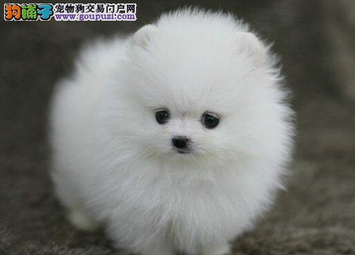 家养一窝纯种球型杭州博美犬出售 爱狗者可上门挑选