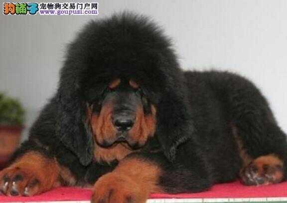 广州那里有纯种藏獒幼犬出售 藏獒幼犬多少钱