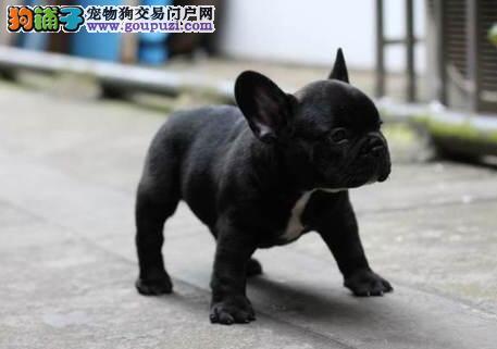 火爆出售血统纯正的南京法国斗牛犬全国送货上门