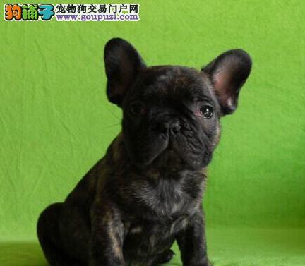 出售极品法国斗牛犬幼犬完美品相签订合法售后协议