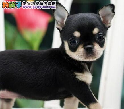 杭州实体犬舍低价出售纯正血系的吉娃娃幼犬 欲购从速