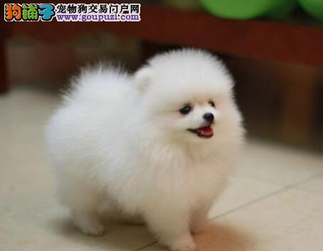 运城养殖基地出售毛发浓密的博美犬 哈多利球形血系