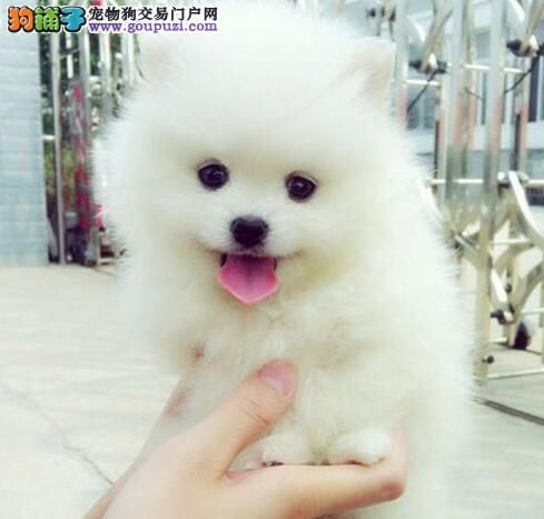 低价出售长春哈多利版白色球体博美幼犬 骨架小毛量好