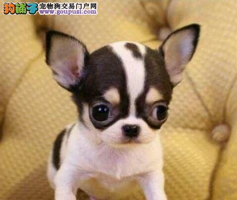 上海纯种墨西哥吉娃娃苹果头大眼睛,相貌标致体态优美