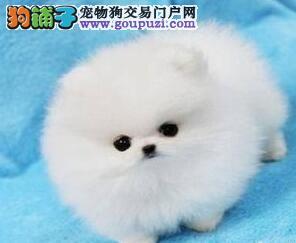 可爱迷你小体型的博美犬找新家 贵阳市内可免费送货