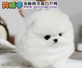 上海出售博美犬迷你茶杯玩具犬 理想好伴侣