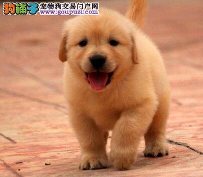 权威机构认证犬舍 专业培育金毛幼犬市内免费送货