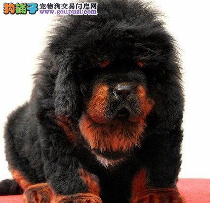 石家庄獒园出售高大凶猛的藏獒幼崽 可随时上门看狗