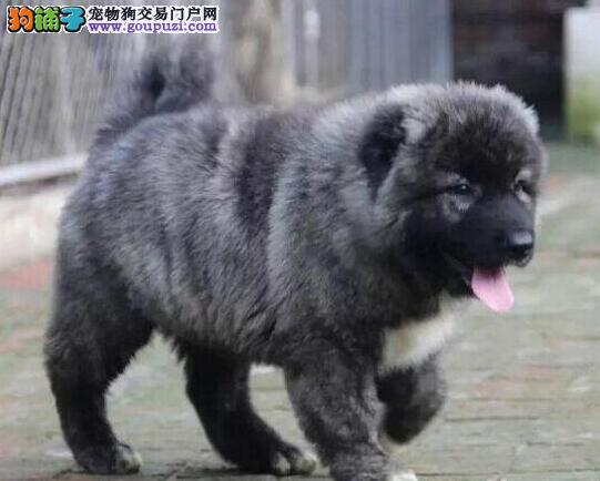 纯种血统俄罗斯高加索犬 狼青色高加索