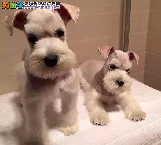 直销血统纯正的石家庄雪纳瑞幼犬 1~3窝幼犬任君选择