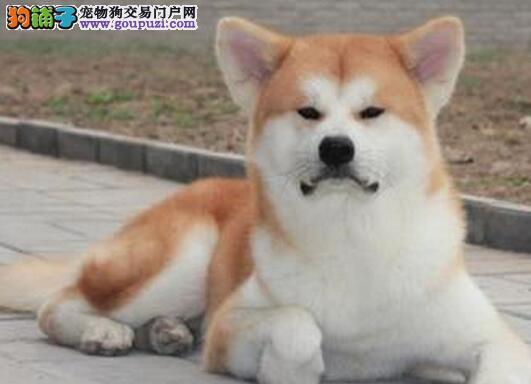 出售纯种健康的南平秋田犬幼犬诚信信誉为本