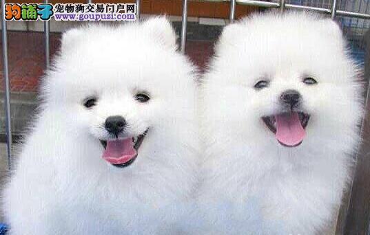 上海犬舍低价热销 萨摩耶血统纯正可签合同刷卡