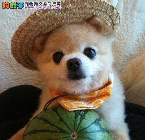 大型犬舍直销价格出售优秀健康哈多利版拉萨博美犬