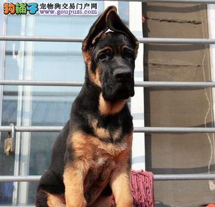 专业的德国牧羊犬犬舍终身保健康狗贩子请绕行