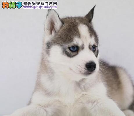 出售纯种东莞哈士奇宝宝 随时欢迎爱狗人士上门挑选