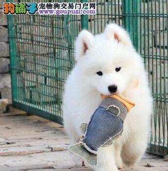 温州低价出售澳版萨摩耶幼犬 骨量大毛量佳健康质保