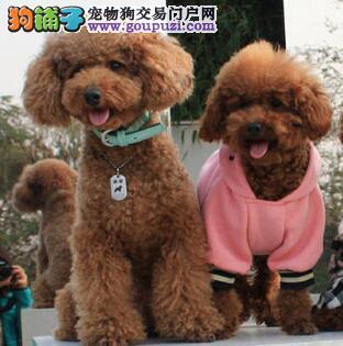 多只优秀品种上海贵宾犬低价直销中 可签署终身协议