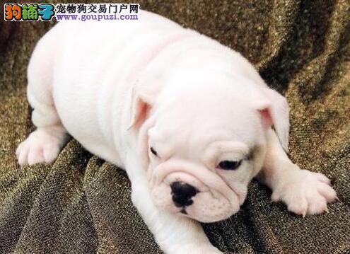 出售纯血统苏州斗牛犬 可签订售后协议可刷卡可视频