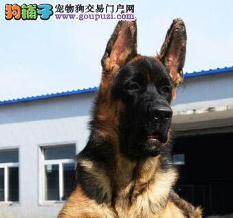 大头锤系弓背德国牧羊犬天津顶尖犬舍直销 欢迎购买