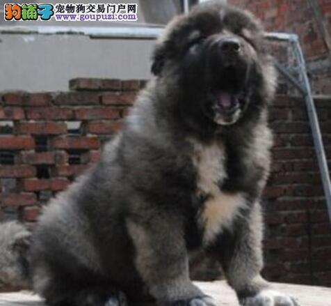 健康的高加索牧羊犬幼犬 已打疫苗驱虫的狗在重庆出售