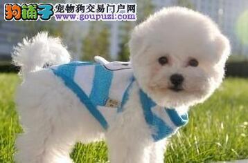 圆眼睛大脑袋的南京比熊犬找新家 喜欢及时联系我